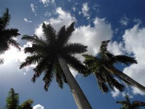 Palma Real, Cuba