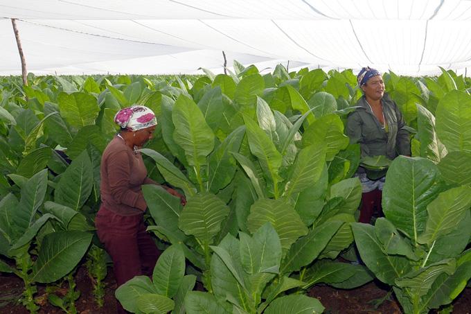 Preside Lázara Mercedes López Acea acto de compromiso de tabacaleros granmenses para incrementar producción en la campaña 2019-2020