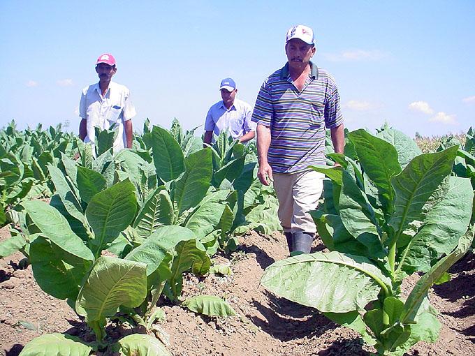 Granma desarrolla campaña tabacalera