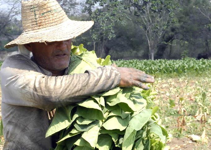 Granma por  incrementar rendimientos en producción tabacalera