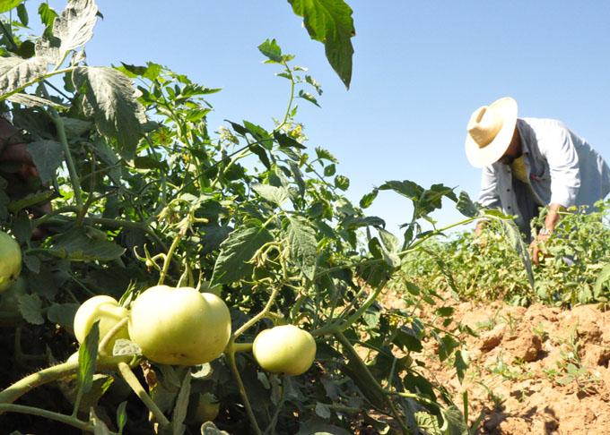 Agricultura, Granma