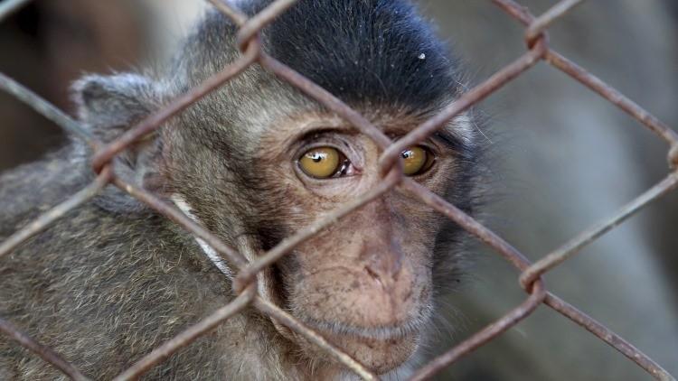 Un mono mascota delató el escondite del Chapo