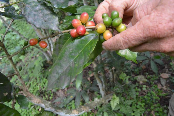 Media Luna avanza en cosecha cafetalera en Granma