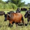 Granma expondrá resultados tecnológicos en ganado vacuno de cría en Agromás 2015