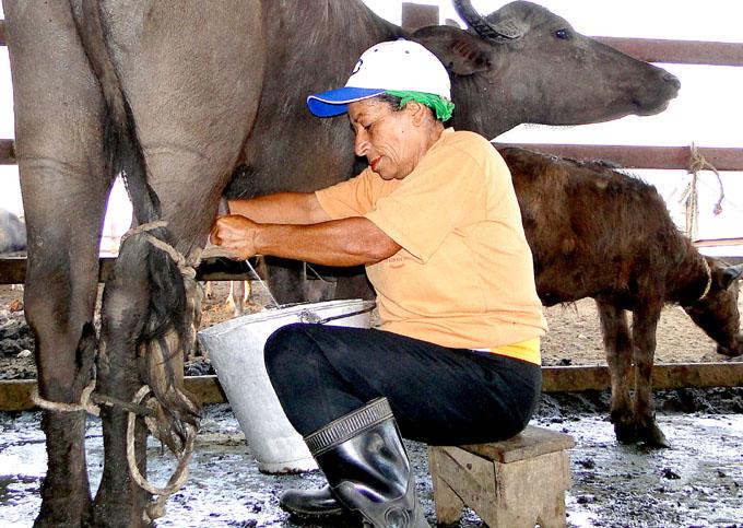 Recuerdos de una ordeñadora de búfalas