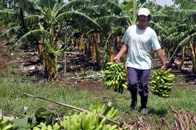 Producción de plátano, Granma