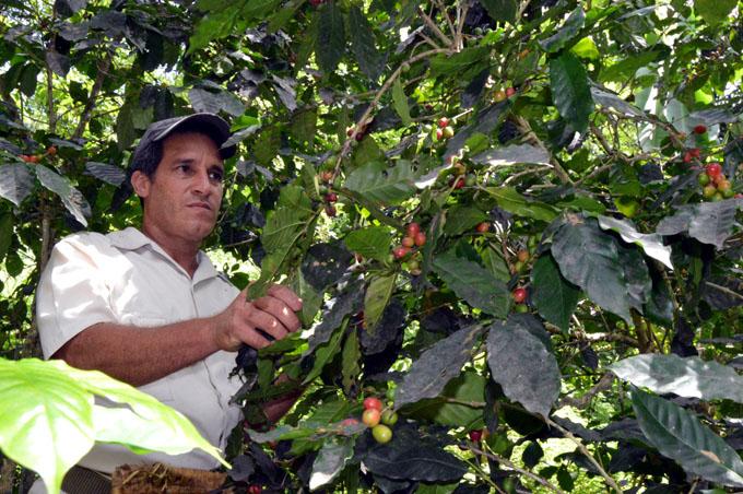 Crece cosecha cafetalera en Guisa, Granma