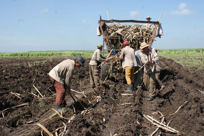 Organizan cosecha y molida en ingenio bayamés
