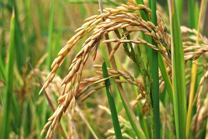 Exponen en Agromas 2015 experiencias de cultivo de arroz en la agricultura de conservación