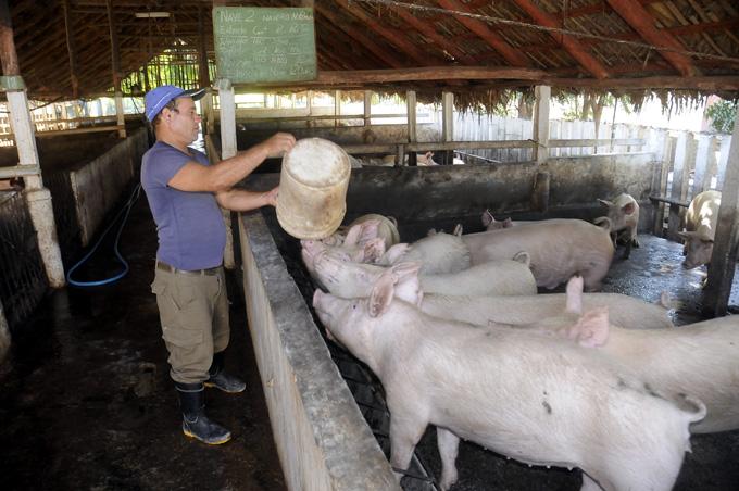 Producción porcina, Granma