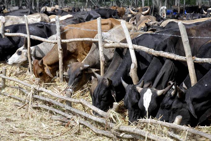 Buscan recuperación de la ganadería en Granma