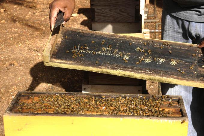 Acopian nueve toneladas de miel apicultores manzanilleros