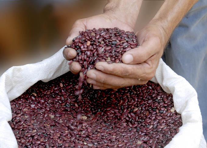 Corroboran factibilidad agroproductiva del frijol Phaseolus vulgaris en suelo granmense