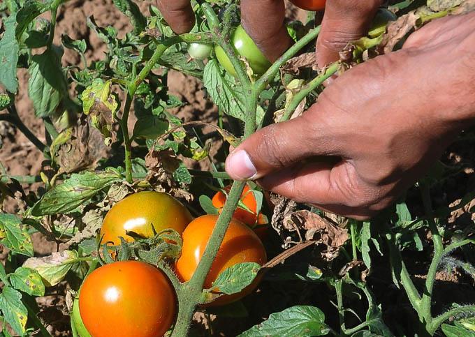Estabilizan suministro de tomate a industria de conservas en Granma