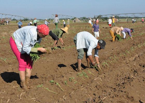 Decisivo aporte de los jóvenes campesinos camagüeyanos a la producción de alimentos (+ Audio)
