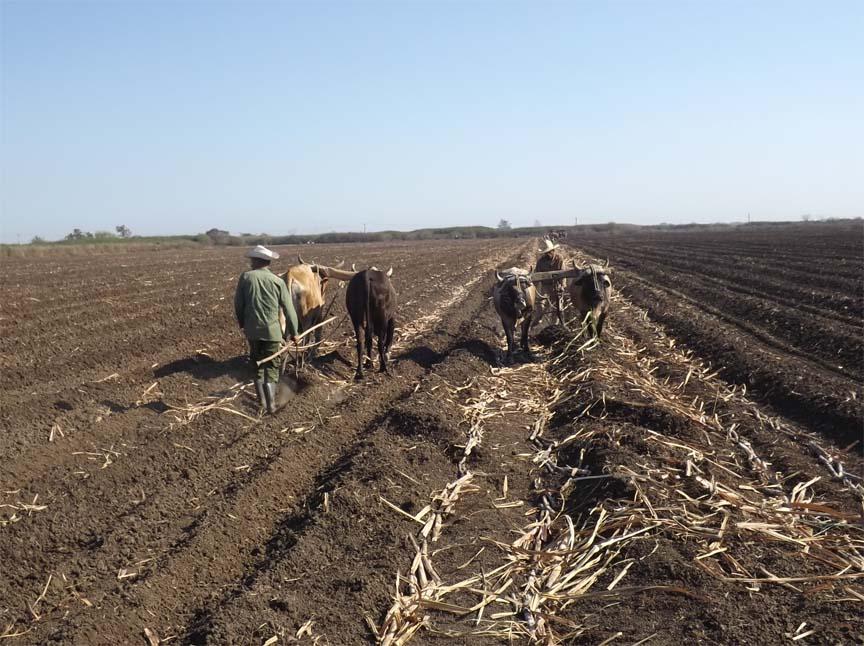 Cooperativistas manzanilleros en proceso de siembra de caña