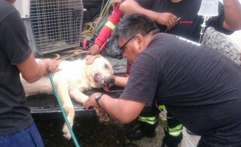 Murió Dayko, el perro que colaboró en el rescate de siete personas en Ecuador