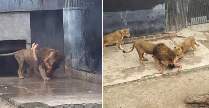 Un joven chileno intenta suicidarse y se lanza a la jaula de los leones en un zoológico