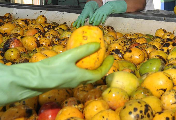 Preparan campaña del mango en Empresa de Conservas Granma