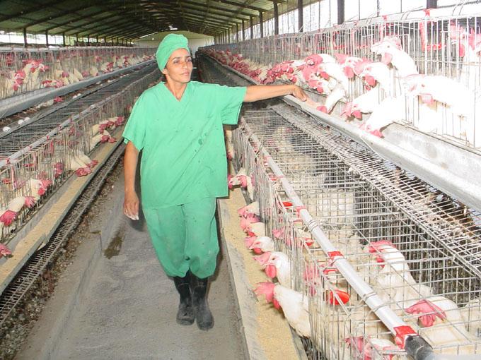 Crece producción avícola en Cuba