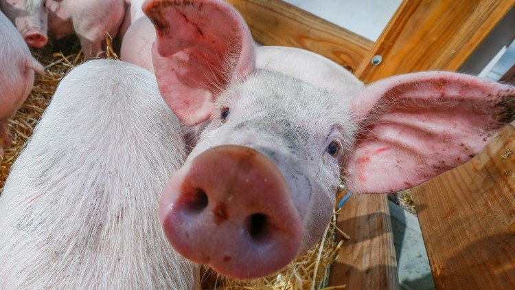 Cultivo de órganos en cerdos