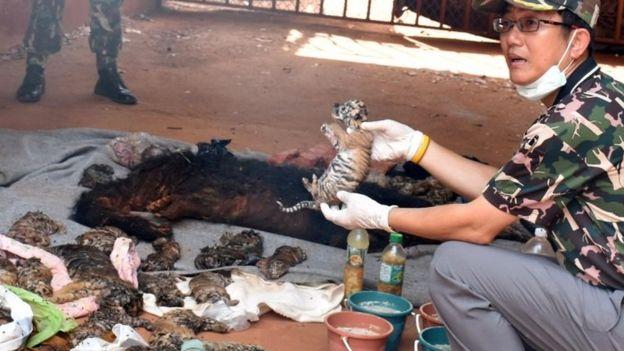 Hallan muertos 40 cachorros de tigre en el congelador de un templo en Tailandia