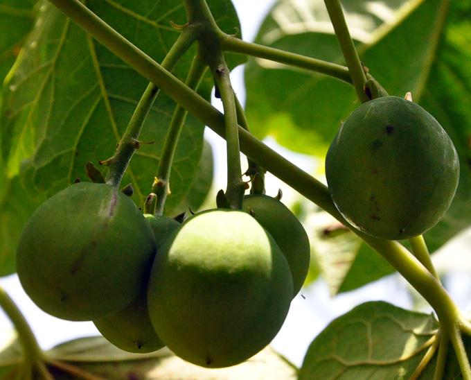 Frutos verdes de Fruto de jatropha curcas en plantaciones de la fica número Uno Colorado, Media LunaFOTO/Rafael Martínez Arias