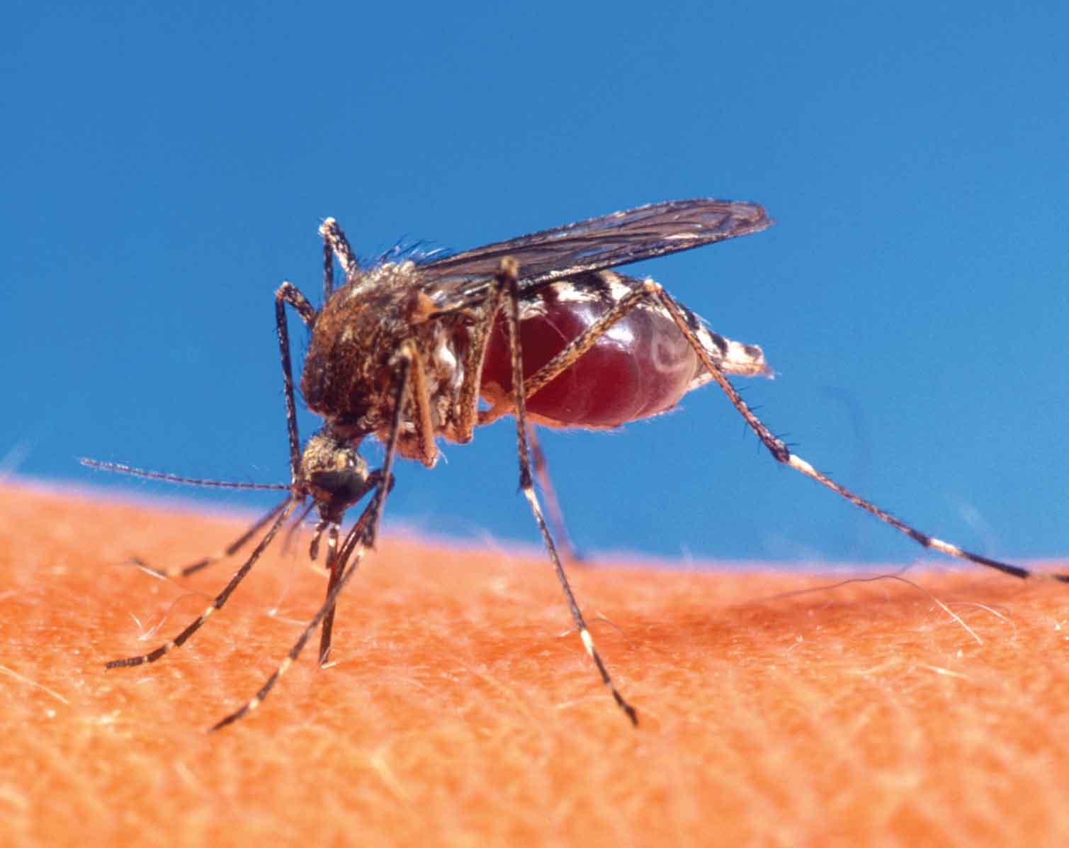 Hallan virus del Zika en segunda especie de mosquito