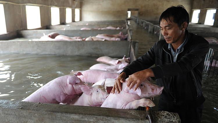 Entre lágrimas, granjero abandona a sus 6.000 cerdos tras las fuertes inundaciones en China (fotos)
