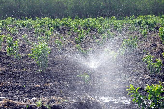 Plantaciones de guayaba con riego por aspersión, en TroyaFOTO/Rafael Martínez Arias