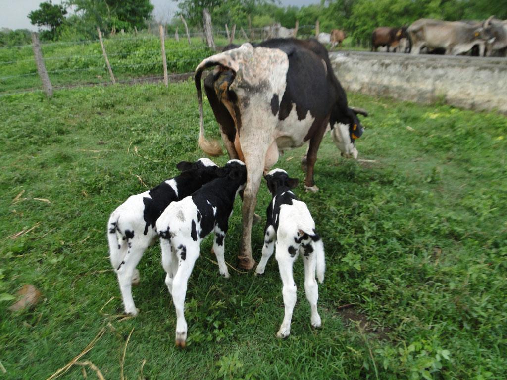 Una vaca criolla tiene inusual parto de cuatro terneros  (+ fotos y video)