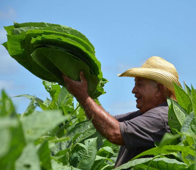 Pinar del Río por incrementar siembras de tabaco Virginia