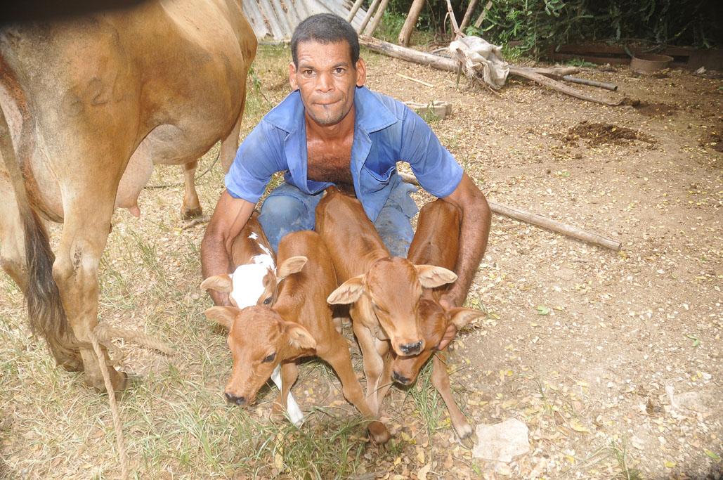 Vaca cubana pare cuatro terneros 2