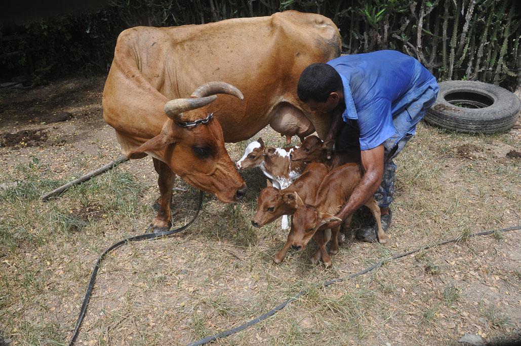 Vaca cubana pare cuatro terneros 3