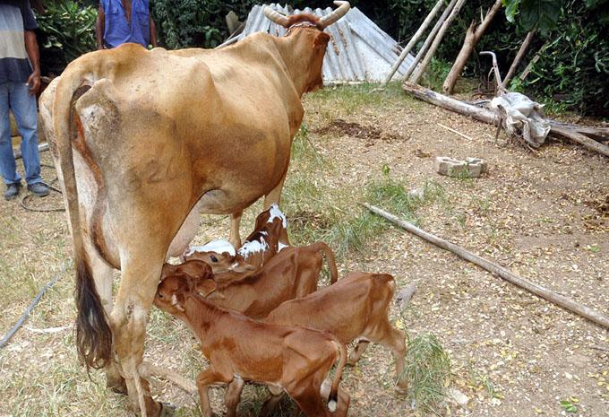 Vaca cubana pare cuatro terneros 5