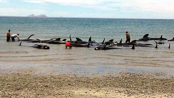 Ballenas vararon en Aysén, Chile, por causas desconocidas