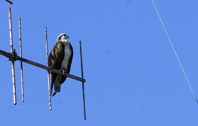 Águila en Bayamo 1