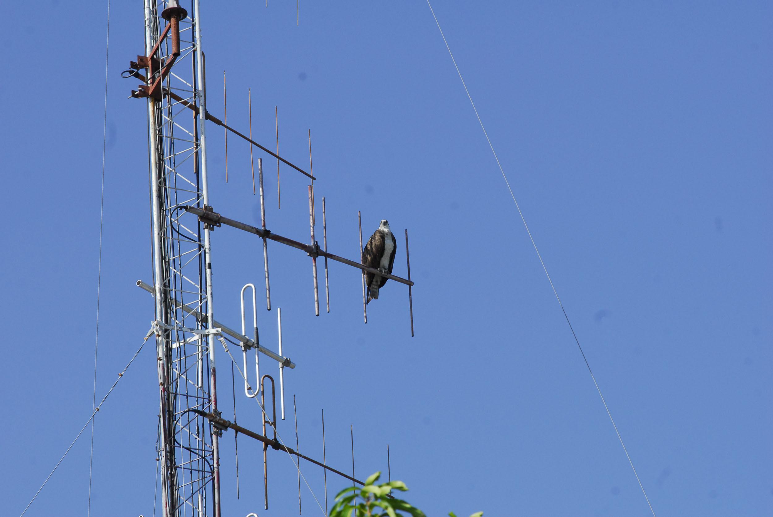 Águila en Bayamo 2