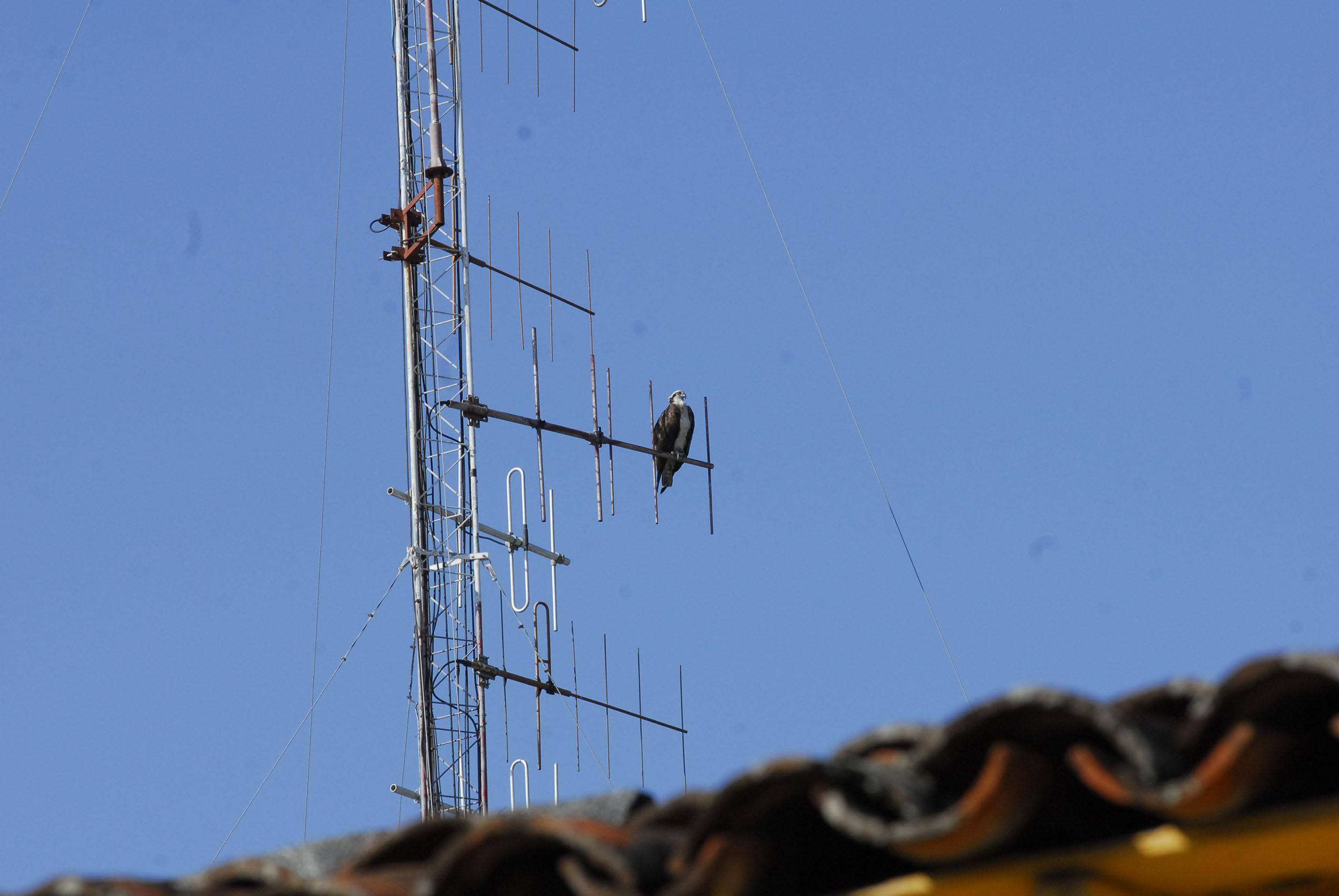 Águila en Bayamo 3