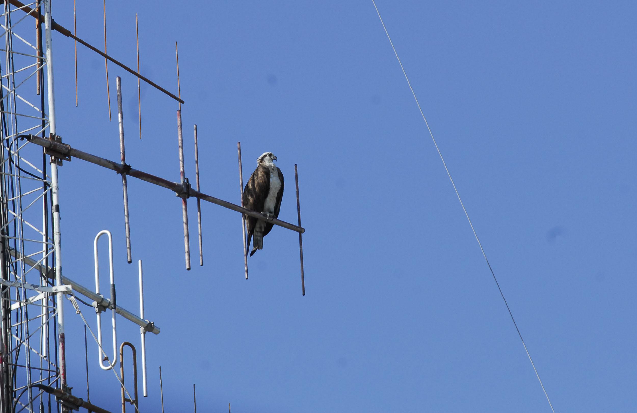 Águila en Bayamo 5