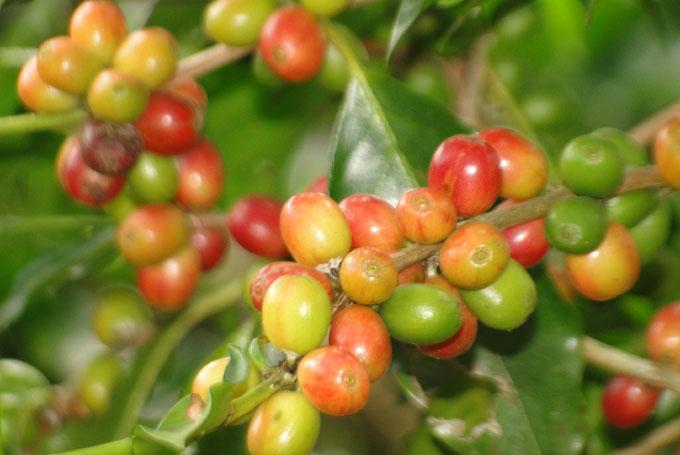 Granma inició recolección de café