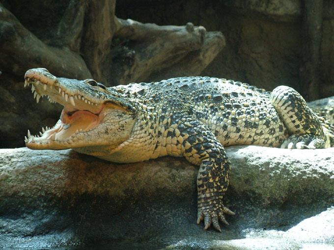 Ejecutan acciones para proteger al cocodrilo cubano