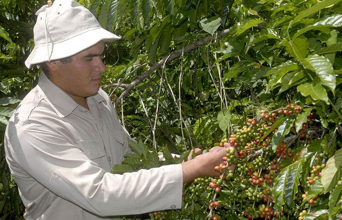 Inició Ejército Juvenil del Trabajo cosecha cafetalera en Granma