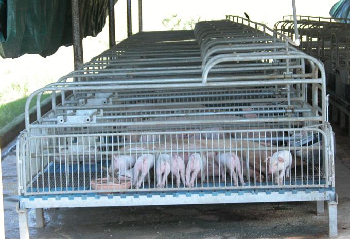 Promueven en Manzanillo mejoramiento genético porcino