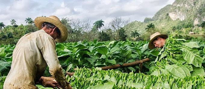 Se inicia hoy siembra de tabaco en Cuba