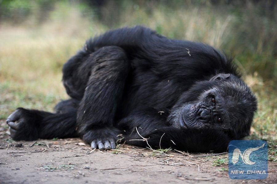 Simios también podrían entender lo que otros piensan