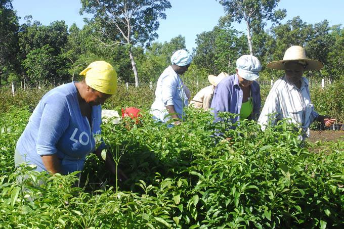 Potencian siembras emergentes de cultivos varios en Granma