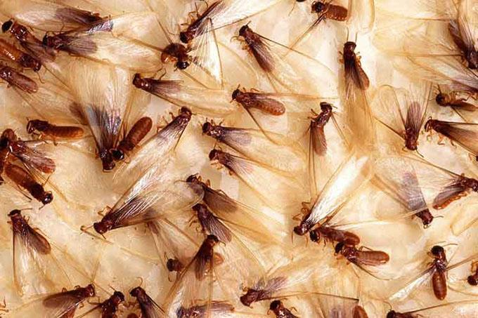 Nombran a la termita de Formosa especie invasora más dañina del mundo