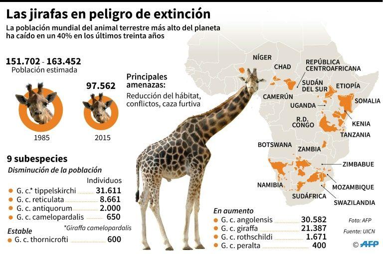 Las jirafas están en peligro de extinción (+ infografía)