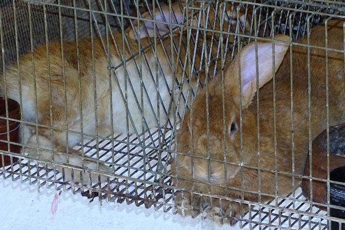 Inician programa para cría de conejos en Bayamo